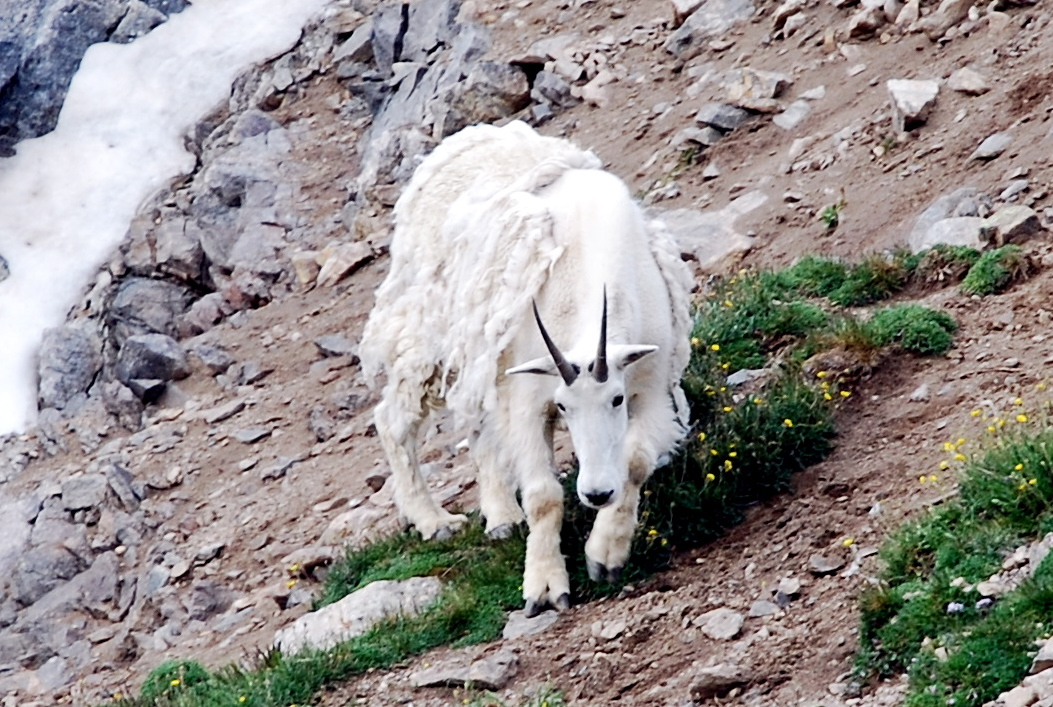 killer mountain goat