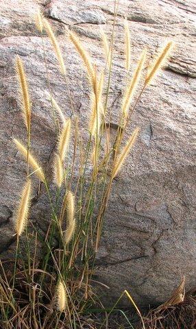 golden grass 021207