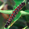 Mourning Cloak Caterpillar from Nature Museum Website