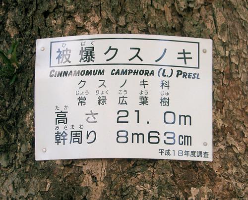 Alcanforero de Sanno Shinto.