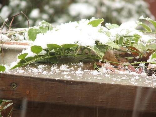 Snowy Vinca
