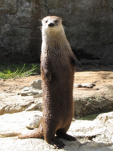 Otter on rocks, standing up very very tall.