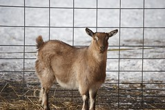 Meet Bambi, the Pygmy Fainting Goat