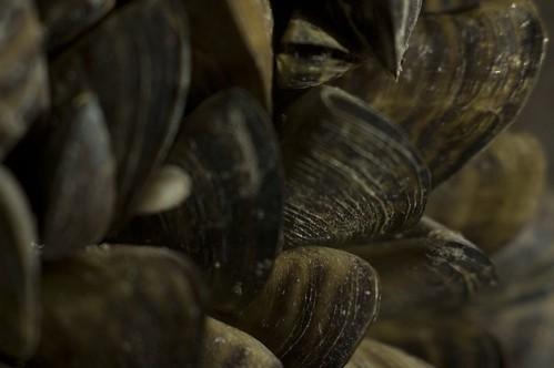 zebra mussels in winter I