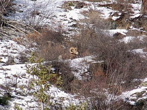 Winter Bighorn