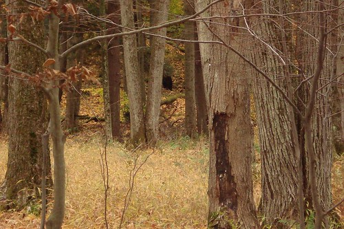 blackbear in the woods