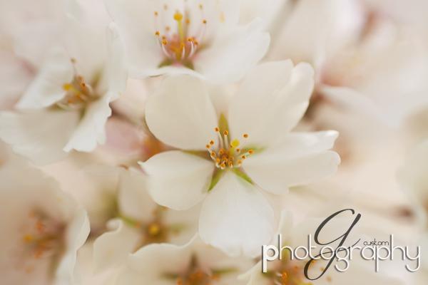 Bradford pear tree blossoms macro
