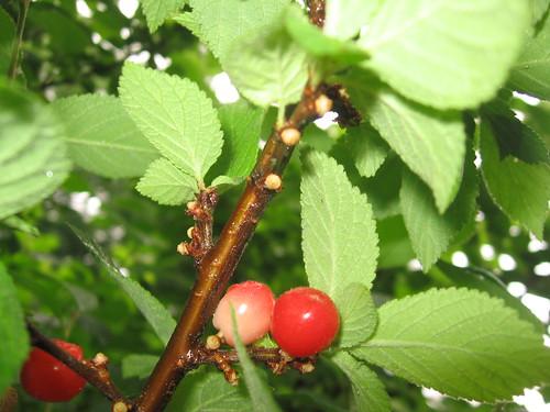 red nanking cherries