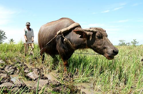 Philippines,Pinoy,Life,rural,farming,farm,farmer,carabao,araro plowing,field<br /> rice