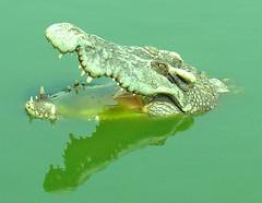 I am lovely crocodile!!
