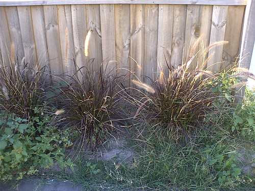My three purple fountain grasses