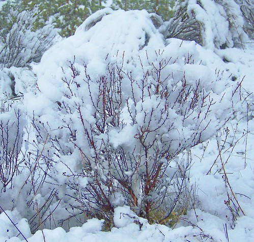 Snow covered sage