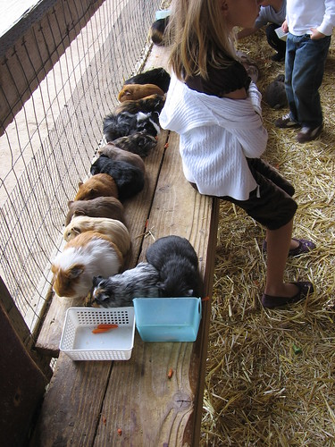 Guinea pigs all in a row...