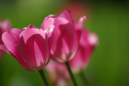 pink tulips, istanbul tulip festival, istanbul, pentax k10d