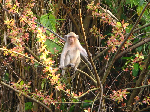 Petchburi Monkey