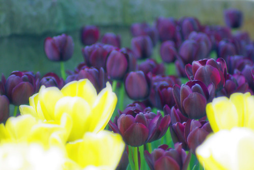 black tulips and yellow tulips, istanbul tulip festival, istanbul, pentax k10d