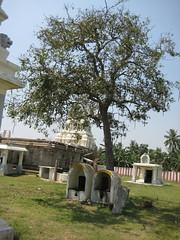 25.Sthala Vruksham - Sarakonrai