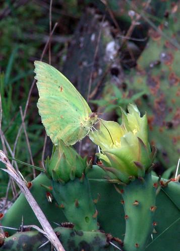 Sulphur on Prickly Pear