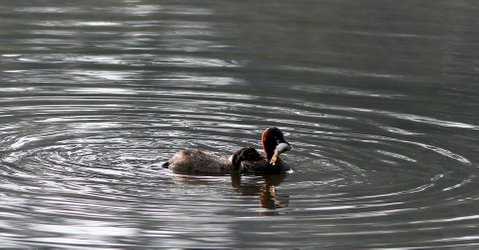 grebe and chick with fish kodai lake 240508