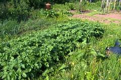 080531-potatoes498