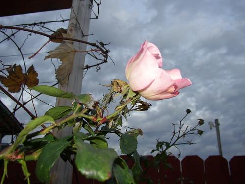 december rose morning