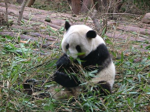 Chengdu's Pandas (3/6)