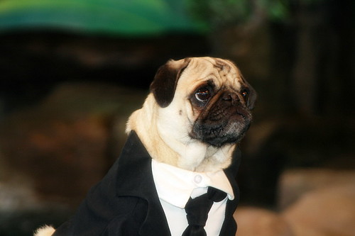 Men in Black Pug by loridz.