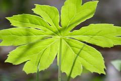 Mayapple Leaf