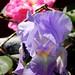 Iris + Rose in Inman Square