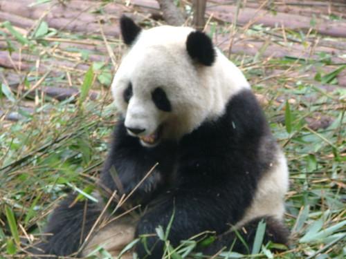 Chengdu's Pandas (4/6)