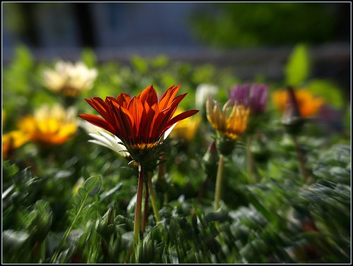 Gaillardia in Focus