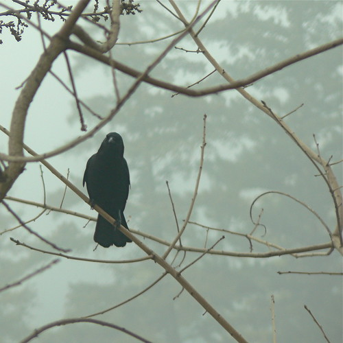 American Crow in fog