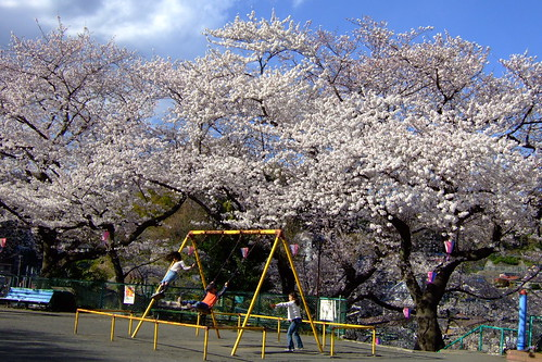 Cherry blossoms in Funakoshi Park