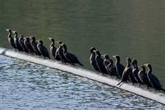 Row of Cormorants