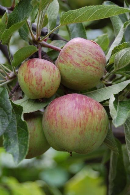 Malus (Apples)
