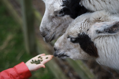 Feeding the Llamas (by rutty)
