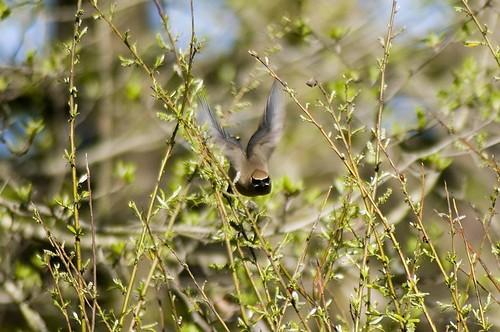 Cedar Waxwing flying