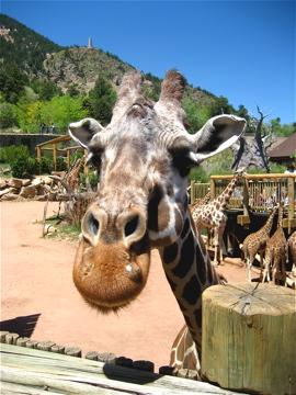 Giraffe faces are cute.