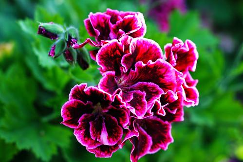 Purple-Geranium