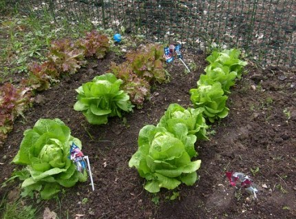 Lettuce Varieties in the Garden