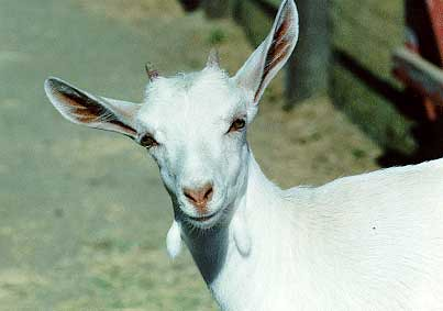 The Horny Goat