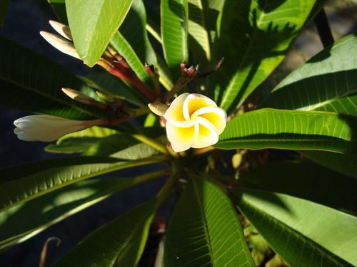 White an Yellow Frangipani flowers