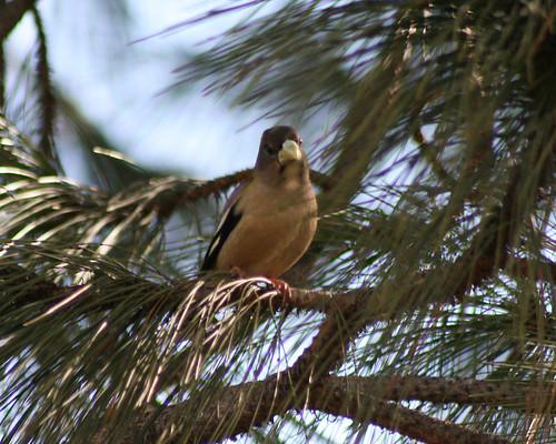 Female Evening Grosbeak
