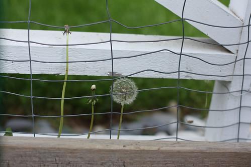 Caged Dandelion