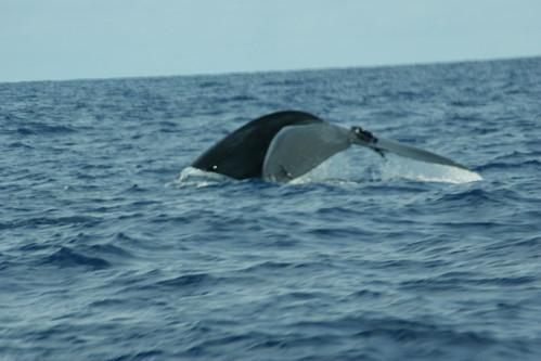Blue Whale (& Ramora)