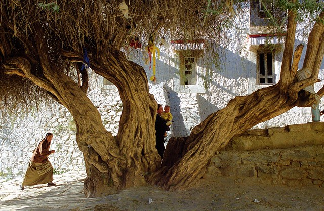 the old tree of Tashilhungpo Gompa