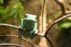 04.05.08 Nat Geo Museum -- Frog Exhibit -- Waxy Monkey Frog 4