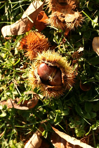 Chestnut in its spiney outer shell