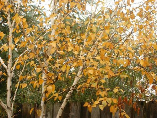 Three white birch