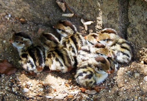 Quail-Hatchlings